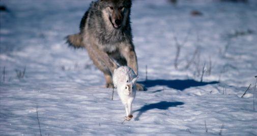 vederea unui iepure și a unui lup