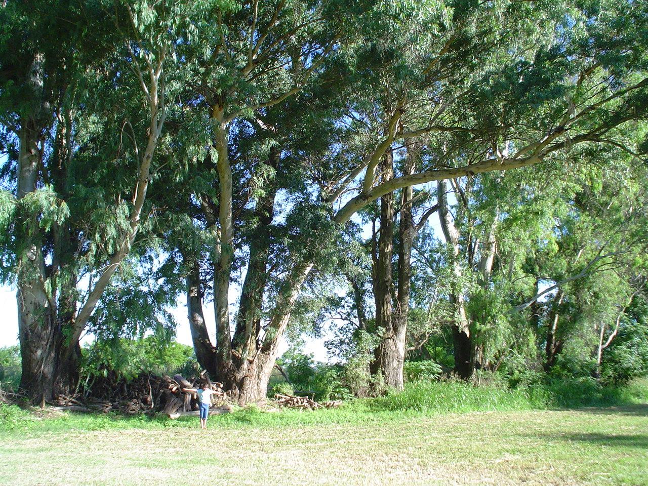 CPonte_Eucalyptus.jpg