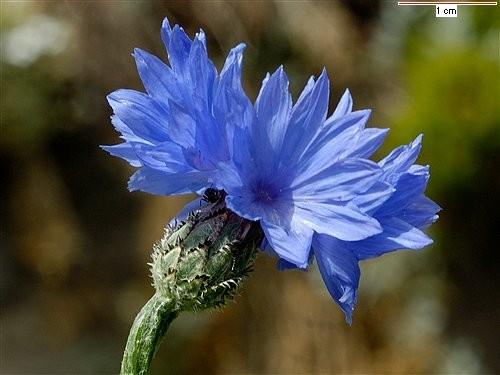 centaurea_cyanus_aba.jpg