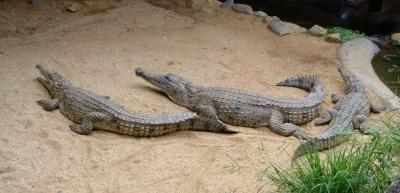 crocodili.jpg