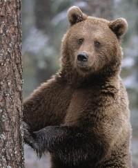 ursul-brun-1.jpg